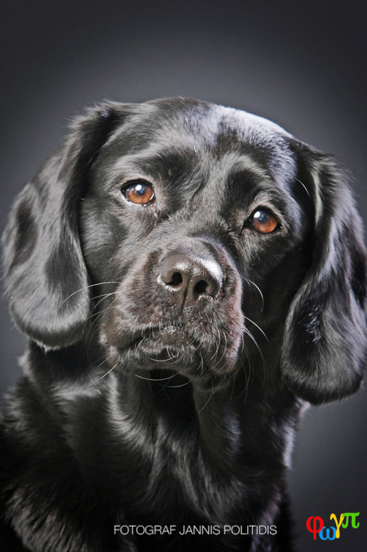 Närbild svart hund