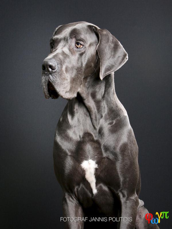 blank svart päls hund
