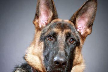 Terrier, tax, fågelhund,pudel